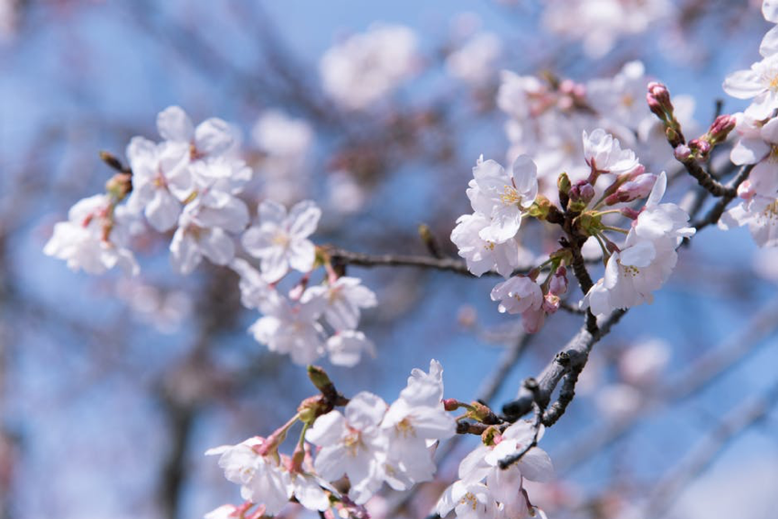 Best Places to go to for Cherry Blossom Viewing in Tokyo